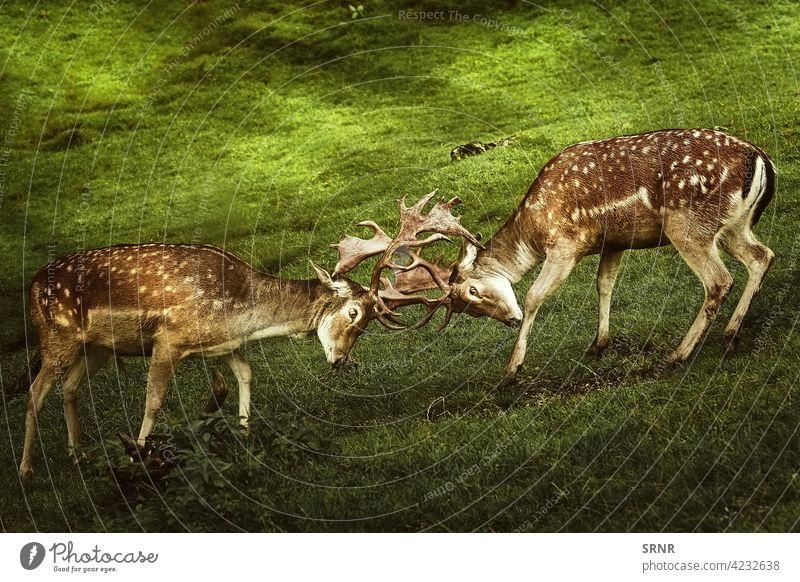Nahaufnahme eines Hirschkampfes Tier Hirsche Zervidae chital Achse Achse Achsenhirsch cheetal Axishirsche Hirschgeweih ausgeglichen Artiodaktylus mit Knackpunkt