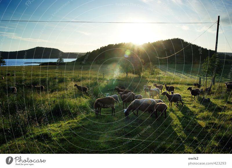 Wollknäuel Natur Pflanze Erholung Landschaft ruhig Tier Umwelt Freiheit Zusammensein Zufriedenheit leuchten wandern Idylle Tiergruppe Lebensfreude beobachten