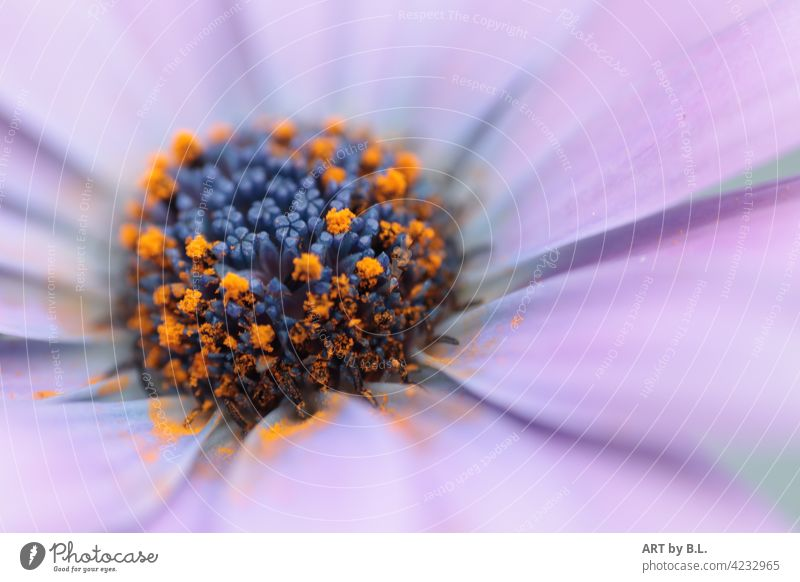 Makro flora floral nahaufnahme edel blume zart makro garten fotokunst blüte margerite lila blütenblätter unscharf blumen in der Blume flower