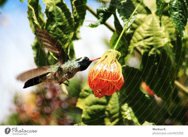At Dinnertime Natur Pflanze Tier Blume Blüte Wildtier Vogel Flügel Kolibris Feder 1 Blühend Essen fliegen exotisch niedlich Geschwindigkeit grün rot fleißig