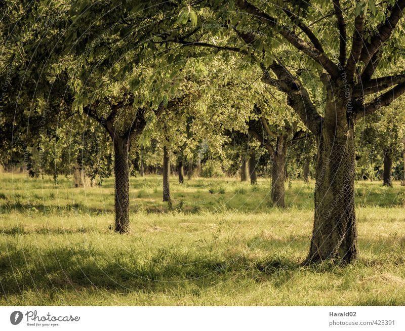 Streuobstwiese Landschaft Pflanze Sommer Baum Wiese gelb grün Farbfoto Gedeckte Farben Außenaufnahme Menschenleer Licht Sonnenlicht Schwache Tiefenschärfe