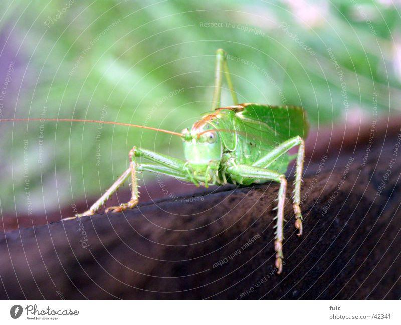 , Heuschrecke grün Holz Tier Insekt Wachsamkeit Fühler 4 braun Relief festhalten Blick Verkehr Makroaufnahme Natur Nahaufnahme Beine sitzen vorwärts