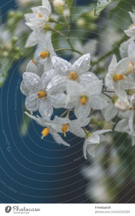 Jasminblüten mit Regentropfen vor blauem Hintergrund Blume Blüte weiß Nahaufnahme frisch Frühling Pflanze Detailaufnahme Natur Wachstum Botanik Garten
