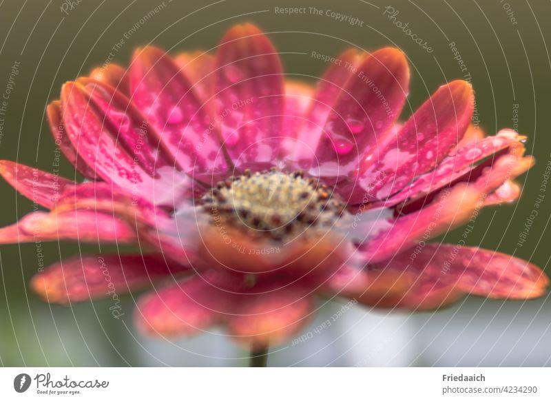 Einzelne Blume im Regen Kapkörbchen rot nass Regentropfen Margerite Blüte Makroaufnahme Frühling Blühend Außenaufnahme Nahaufnahme Schwache Tiefenschärfe