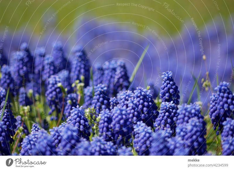 Bergmännchen auf der Wiese oder auch Muscari die Traubenhyazinthe Blume Blüte Natur Pflanze Frühling Sommer Nahaufnahme Blühend violett Garten grün lila