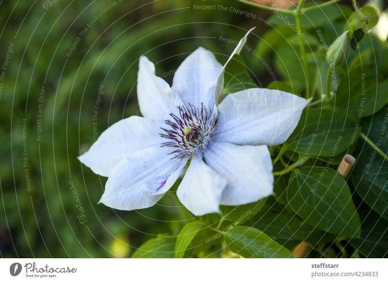 Hellviolette Blüte einer Boulevard-Clematis blüht Blume Boulevard-Schlüsselblume Weinblüte Blütezeit Neapel Florida Natur Garten Aufsteiger
