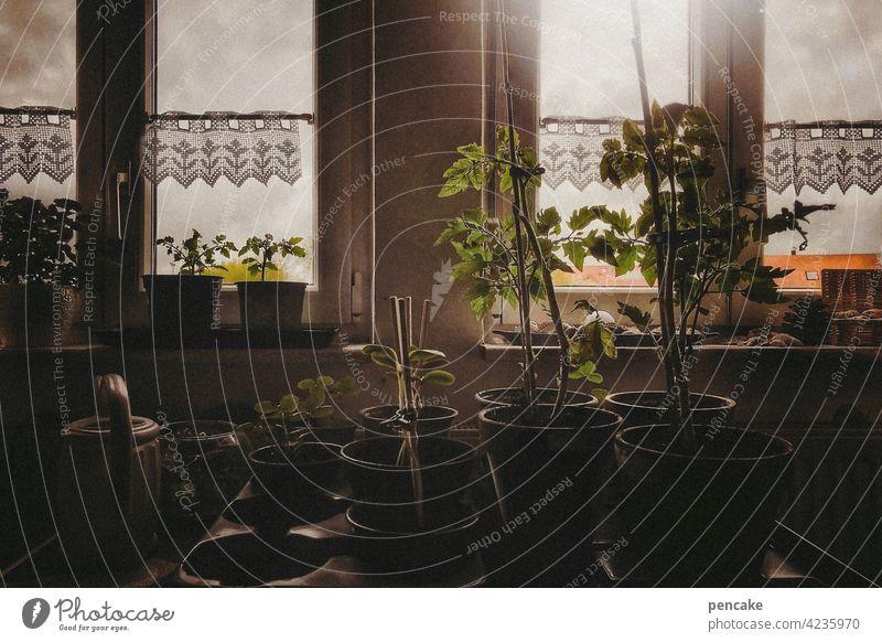 homeschooling Frühjahr Fenster Fensterbank Pflanzenzucht Anzucht Tomaten Gurken Zucchini Gardine Licht Sonnenlicht Selbstversorger Häusliches Leben Wohnung