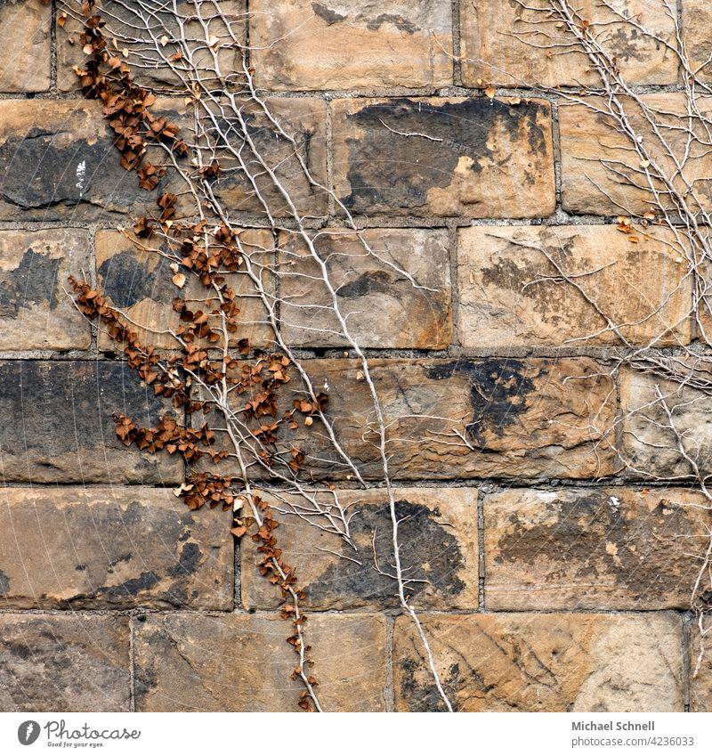Alte Mauer mit Pflanzenwuchs mauerwerk Mauerwand Kletterpflanzen alt Wand Farbfoto bewachsen nach oben