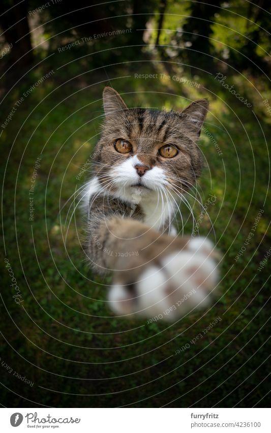 niedlich tabby weiße Katze auf grünem Gras Anhebung Pfote versuchen, Snack zu erreichen im Freien Wiese Rasen Garten Vorder- oder Hinterhof Natur
