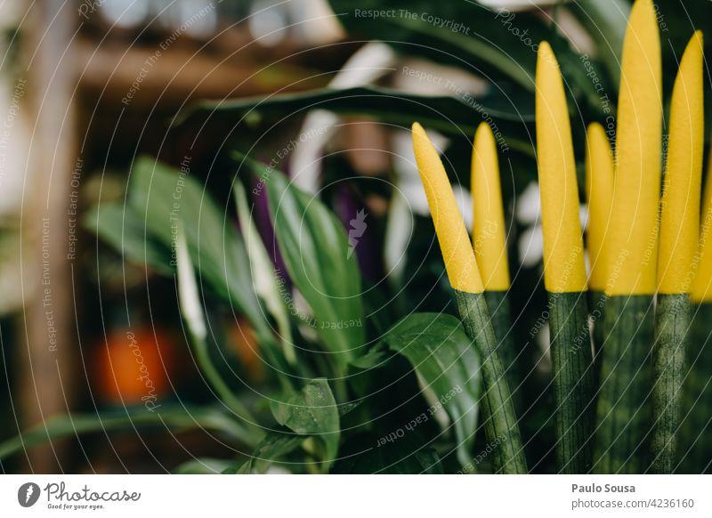 Bunte Topfpflanzen zum Verkauf eingetopft Sansevieria cylindrica Kleinunternehmen Sukkulenten Blumenhändler Floristik Garten Natur Gartenarbeit Pflanze