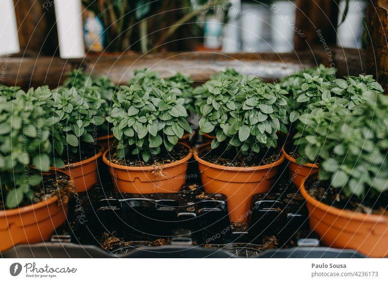 Nahaufnahme getöpfertes Basilikum Lissabon eingetopft Topfpflanze Kleinunternehmen Sale zu verkaufen grün Pflanze natürlich Dekoration & Verzierung Hintergrund