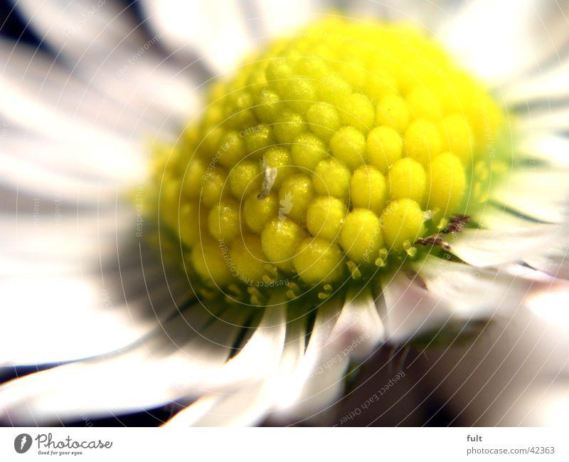 gänseblümchen weiß Blatt gelb Stil Blüte Gänseblümchen Makroaufnahme