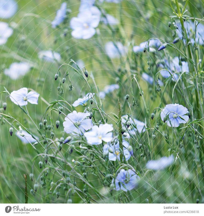 blaue Leinblüten im Wind, zart und teilweise unscharf Wiese Mai Licht Pflanze Blüte Blühend Blume grün