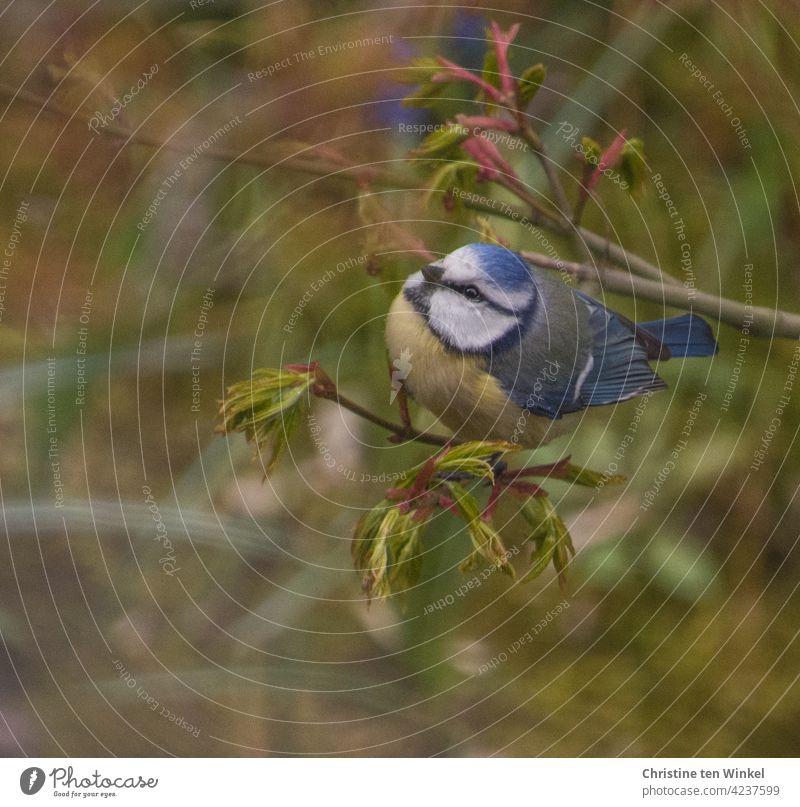 Kleine lebhafte Blaumeise im Garten auf einem Zweig mit frisch austreibenden Blättern Meise Singvogel Vogel Gartenvogel Cyanistes caeruleus Natur klein wild