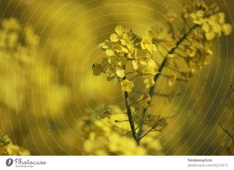 gelbe Rapsblüte Rapsfeld Rapsanbau Nutzpflanze Pflanze Blüte Umwelt Nahaufnahme Knospe Blühend Schwache Tiefenschärfe Menschenleer Blume Sommer Unschärfe