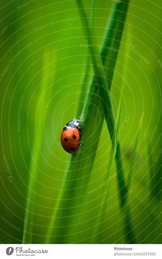 Ein kleiner Marienkäfer auf einem Grashalm Käfer Insekt Tier Makroaufnahme Natur grün krabbeln Glück Außenaufnahme Menschenleer Siebenpunkt-Marienkäfer Farbfoto