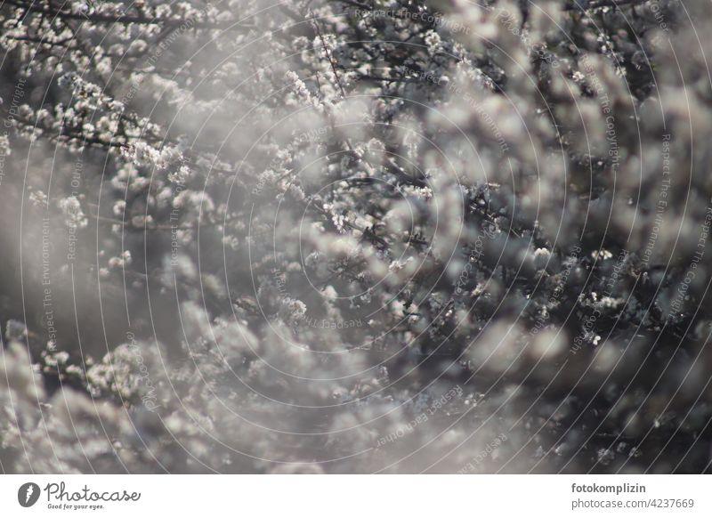 blühende Zweige leuchtend Blühend Blüten Blütenmeer märchenhaft anmutig duftig verträumt romantische Stimmung stimmungvoll Frühlingsgefühl Frühlingstag