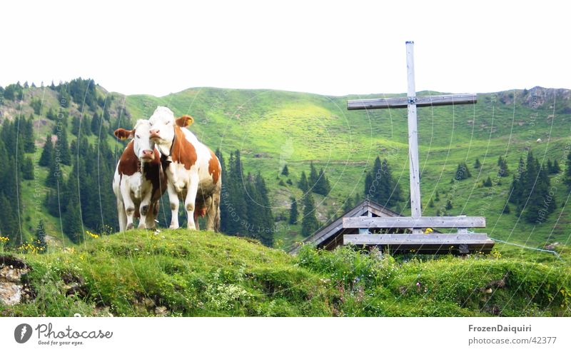 Ein Kreuz mit den Kühen... grün Wald Felsen Österreich Landwirtschaft Alm Christliches Kreuz Bundesland Tirol Nadelbaum Holzbank Holzkreuz