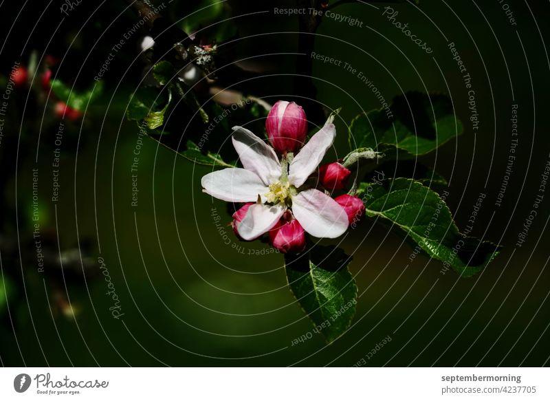 Apfelbaumblüte dunkles Bild hervortretende Blüte mit Knospen Menschenleer Gegenstandslos 1 Weiß-rote Blüte Hintergrund dunkles grün Außenaufnahme