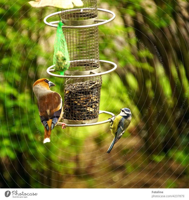 Kernbeißer und Blaumeise haben ein romantisches Date an der Futterstelle Vögel Vogel Tier Außenaufnahme Farbfoto Wildtier Natur Tag Menschenleer Umwelt weiß