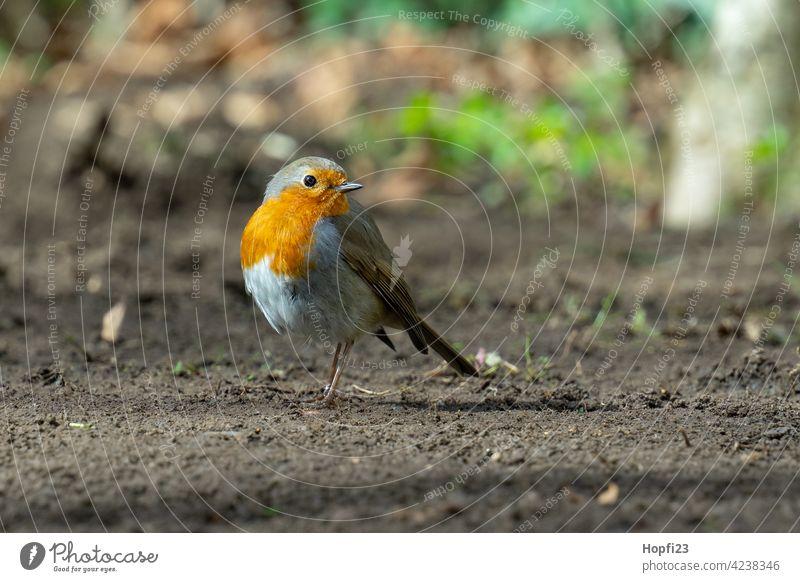 Rotkehlchen auf Futtersuche rot Vogel Singvogel Singvögel Boden Erde Sonne Sonnenlicht Sonnenschein Tier Natur Außenaufnahme Wildtier Farbfoto Schnabel Feder