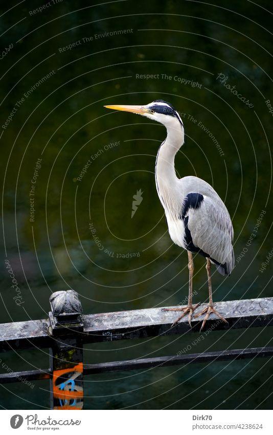 Graureiher auf dem Geländer des Spreekanals in Berlin Vogel Reiher Fischreiher Tier Natur Außenaufnahme Farbfoto Wildtier Tag Menschenleer 1 Tierporträt