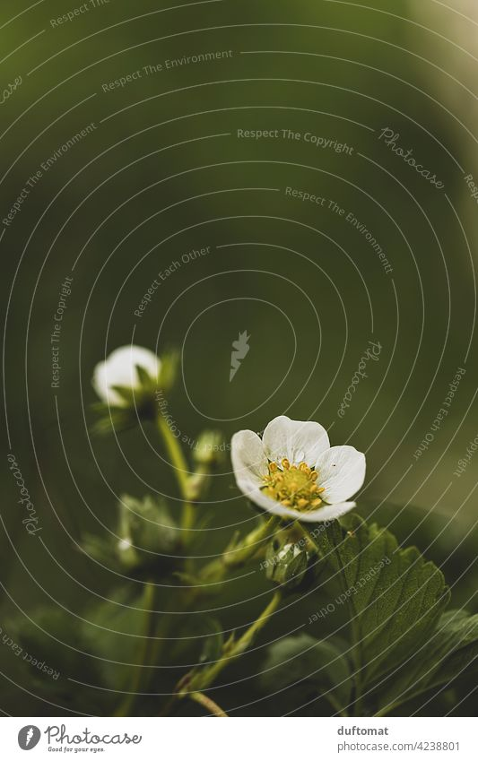 Weiße Erdbeerblüte bei Regen auf grünem Hintergrund Blüte Erdbeere Blume Pflanze blühen Natur Garten Blütenstempel weiß essbar Schwache Tiefenschärfe Blühend