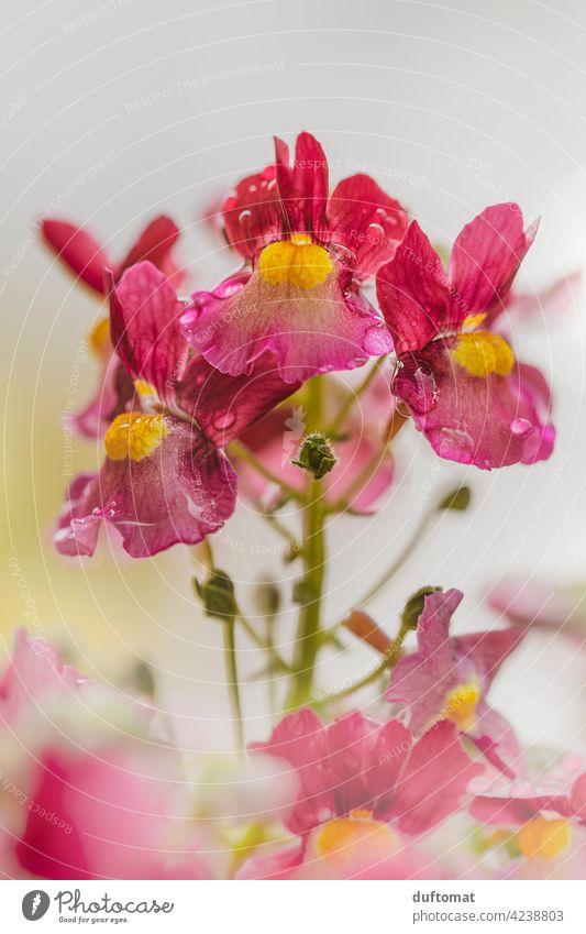 rot gelbe Elfenspiegel Pflanze bei Regen, geringe Tiefenschärfe Blüte Regentropfen nass Blume blühen Natur Garten Blütenstempel grün Schwache Tiefenschärfe