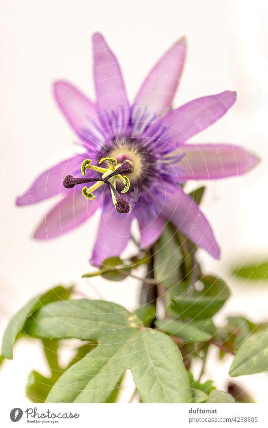Lila Passionsblume, geringe Tiefenschärfe Passionsfrucht lila Blüte Blume Pflanze blühen Natur Garten Kletterpflanze Blütenstempel violett grün