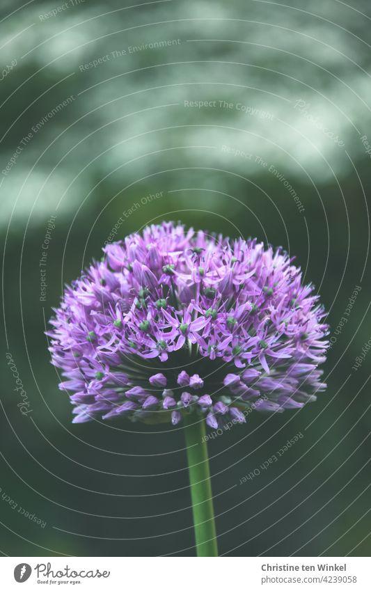 violette Blüte des Zierlauchs /Allium vor verschwommenem Hintergrund Blume Schwache Tiefenschärfe Frühlingsblume Lauchgewächs Zwiebelblume Pflanze Natur Garten
