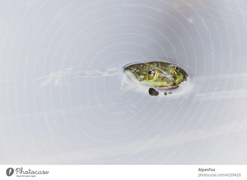 aufgetaucht zum Küssen Frosch Froschkönig Froschauge Tier Farbfoto Außenaufnahme Menschenleer Tag Froschperspektive Tierporträt Teich Natur Wildtier Nahaufnahme