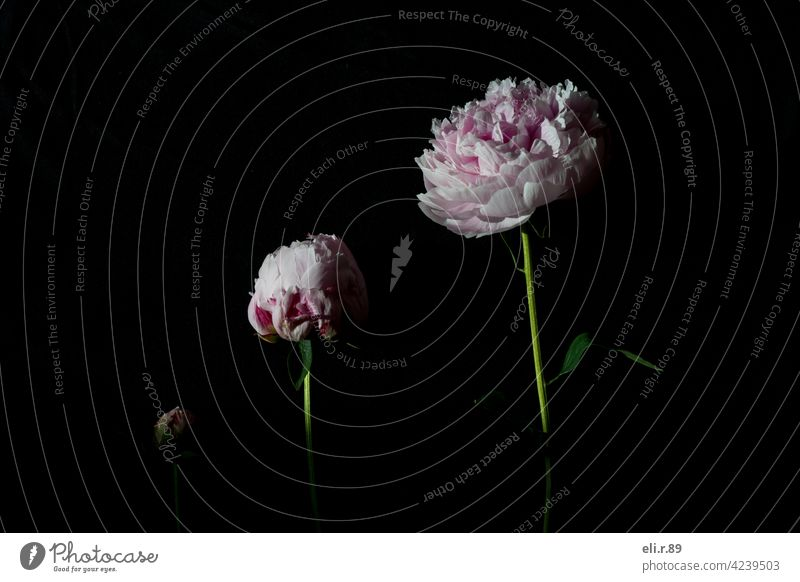 Pfingstrosen - verschiedene Blütephasen Blumen rosa Frühling schön Natur Farbfoto Nahaufnahme Pflanze frisch Blühend Menschenleer Blütenblatt Makroaufnahme