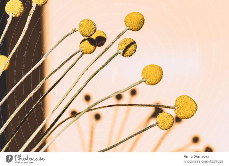 Craspedia globosa trockene Blumen Trockenblumen Billy-Knöpfe Blumenstrauß starker Schatten Sonne senfgelb Ball Bastelpapier Trommelstöcke Ewig trocken