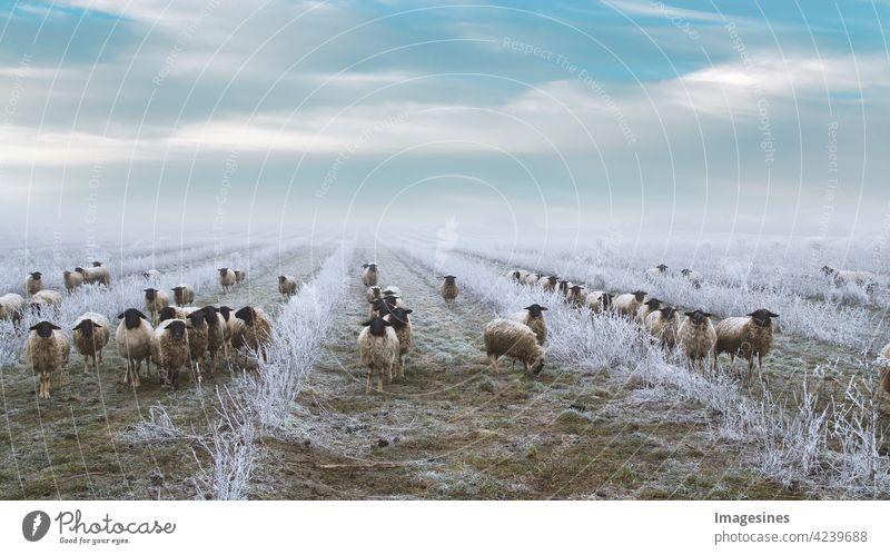 Weidende Schafherde in einer Plantage aus Aronia-Sträuchern. Frostige Winterlandschaft. Unkrautbekämpfung mit Schafen Landwirtschaft alternativer Lebensstil