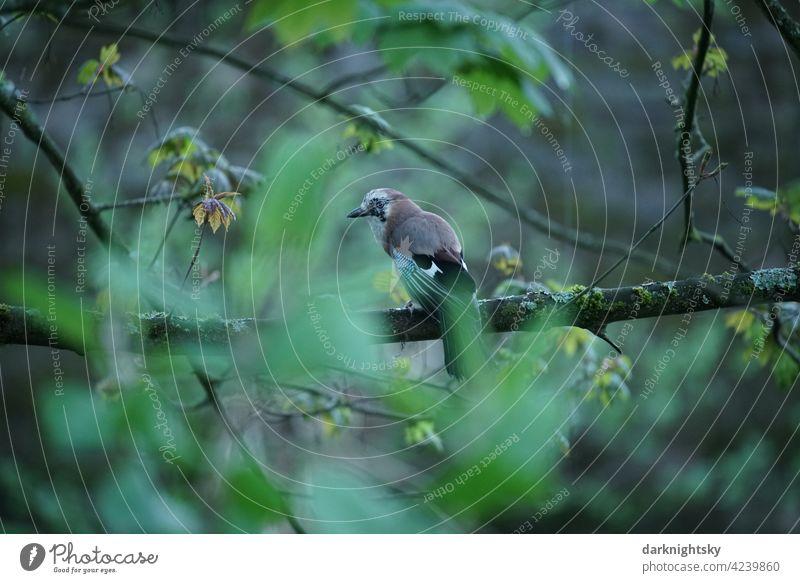 Eichelhäher am Abend auf einem Ast sitzend, Garrulus glandarius Vogel Natur Tier Schnabel Vögel Außenaufnahme Baum Farbfoto Feder Jay Blick Menschenleer Flügel