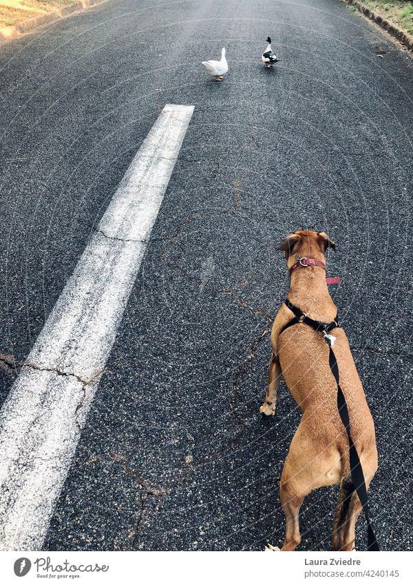 Hund auf dem Spaziergang und die Enten Hundeauslauf Hundeausführen Gassi gehen Tier Haustier laufen Tierporträt mit dem Hund rausgehen Außenaufnahme Hundeleine