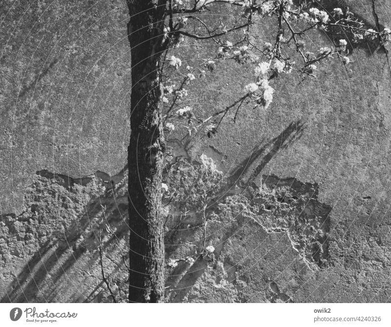 Frühling in Grau Blütenblätter Natur Idylle Baumblüte weiß viele Licht Schatten Schönes Wetter Außenaufnahme Äste und Zweige wndstill Pflanze blühen Nahaufnahme