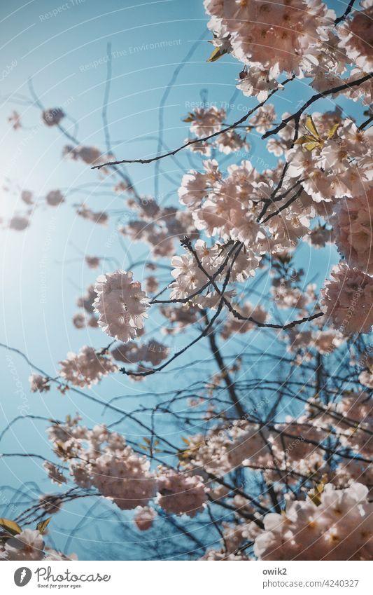 Erster Versuch Baumblüte Frühling Natur Idylle Außenaufnahme Farbfoto Blüte Pflanze Zweig klein Menschenleer Nahaufnahme Ast weiß blühen Blüten Detailaufnahme