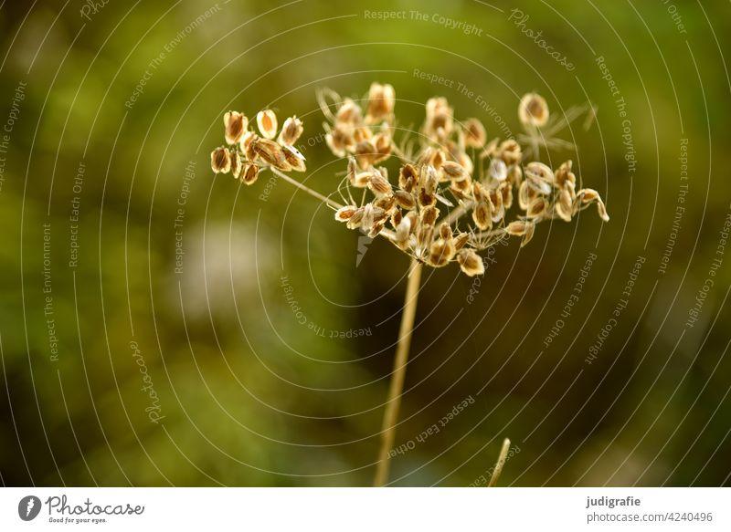 Wiese Doldenblütler Doldenblüte Pflanze Natur Blüte Sommer Wildpflanze Schwache Tiefenschärfe grün vertrocknet Vergänglichkeit Detailaufnahme Samen samenstand