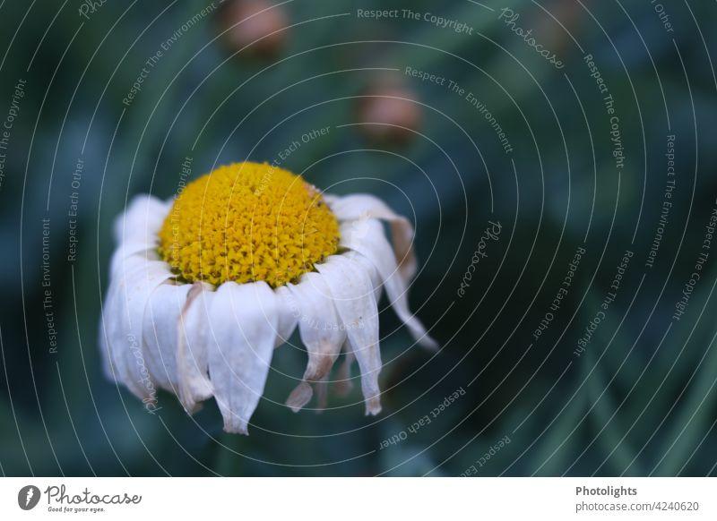 Margerite mit welken Blütenblättern Blume kaputt Pflanze Farbfoto weiß Außenaufnahme Nahaufnahme gelb grün Wiese Frühling Garten Unschärfe Gras Tag Natur