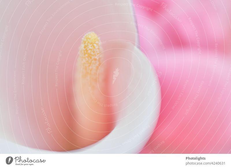 Blüte einer weißen Calla mit rosa Hintergrund Lilien elegant Natur schön Blume Farbfoto Detailaufnahme Nahaufnahme hell gemütsruhe Blütenstempel farbneutral