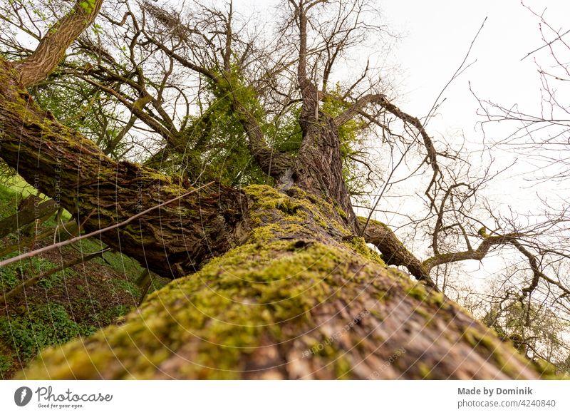 Moosbedeckter Baumstamm Natur Nahaufnahme Naturschutzgebiet natürliches Licht grün Außenaufnahme Wald Menschenleer Farbfoto Pflanze Tag Umwelt Landschaft