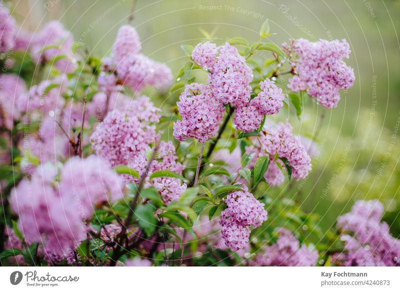 Nahaufnahme eines Fliederhaufens Ackerbau Hintergrund schön Schönheit Überstrahlung Blüte Botanik Blumenstrauß Ast Buchse farbenfroh Landschaft dekorativ