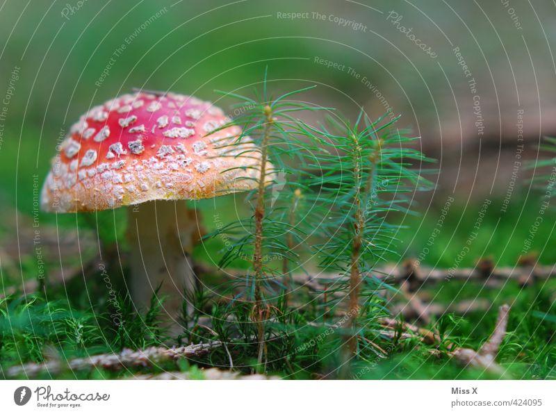 Pilz II Ernährung Natur Herbst Moos Wald Wachstum gefährlich Gift Fliegenpilz Waldboden Saison Herbstbeginn Herbstwald ungenießbar Farbfoto mehrfarbig
