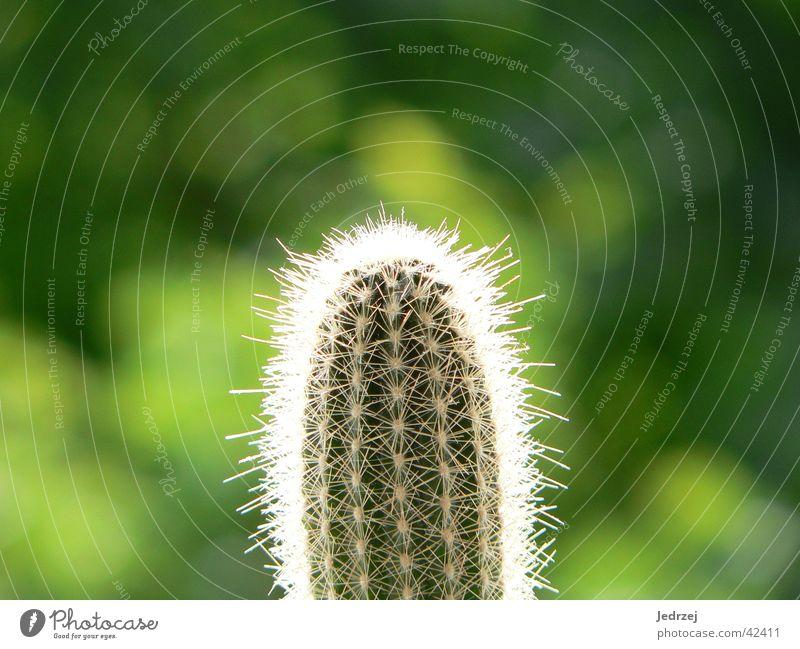 Stachelig und grün Kaktus Unschärfe Zoomeffekt Sommer Fototechnik hell Spitze Makroaufnahme Sonne Pflanze