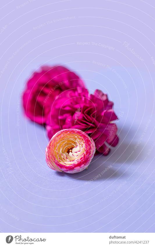 Stilleben mit pinken Ranunkel Blüten auf lila Hintergrund Blumen Stillleben liegen drei Pflanze blühen Freisteller ranunculus Studioaufnahme farbenfroh