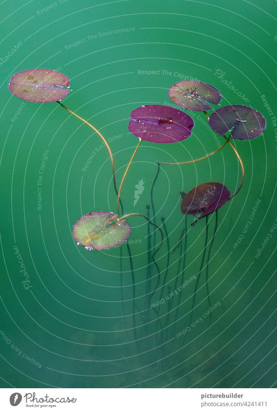 Schwebende Seerosen im grünen Wasser des Sees Wasserpflanzen Teich Pflanzen schweben schwimmen Natur Sonne Tag violett rot ruhe entspannt menschenleer