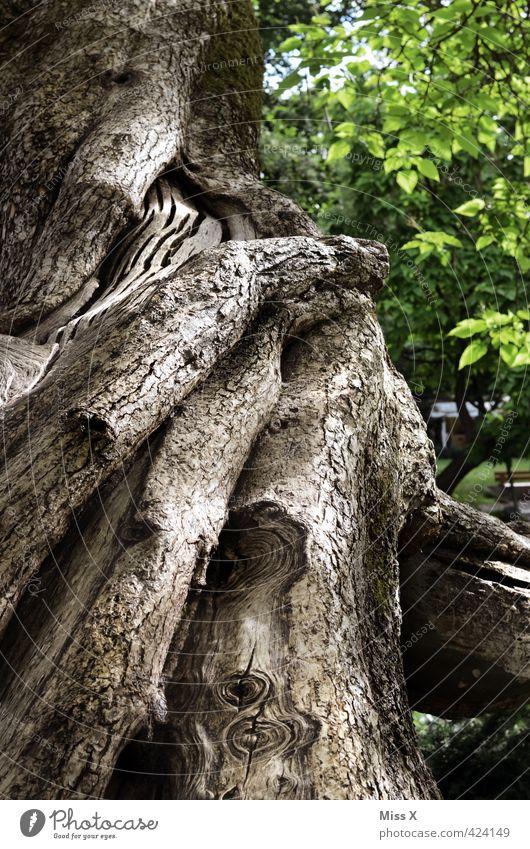 Verschlungen Baum Wald alt gigantisch groß hoch Senior Natur Wachstum Baumstamm Baumrinde Naturschutzgebiet Ast Astloch Farbfoto Außenaufnahme