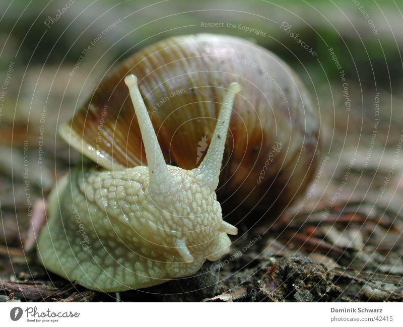 Wegelagerer Weinbergschnecken Schneckenhaus Fühler schleimig Waldboden krabbeln langsam Geschwindigkeit Schutz