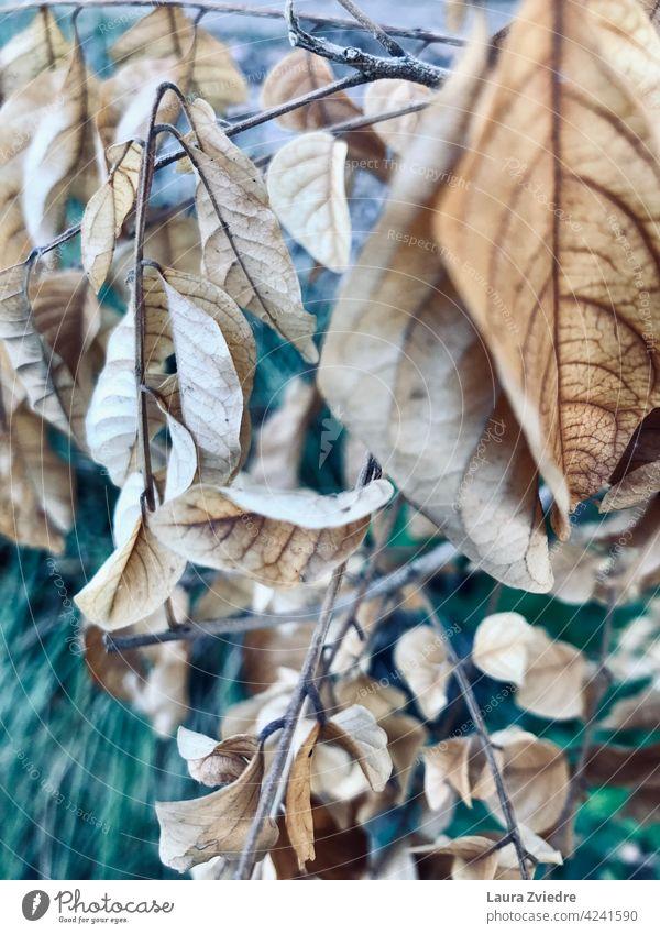 Alte Blätter in Nahaufnahme auf dem Zweig Ast Alter Zweig Blatt Herbst Herbstlaub Baum Natur Pflanze Herbstfärbung herbstlich Herbstbeginn Nahaufnahme verlassen